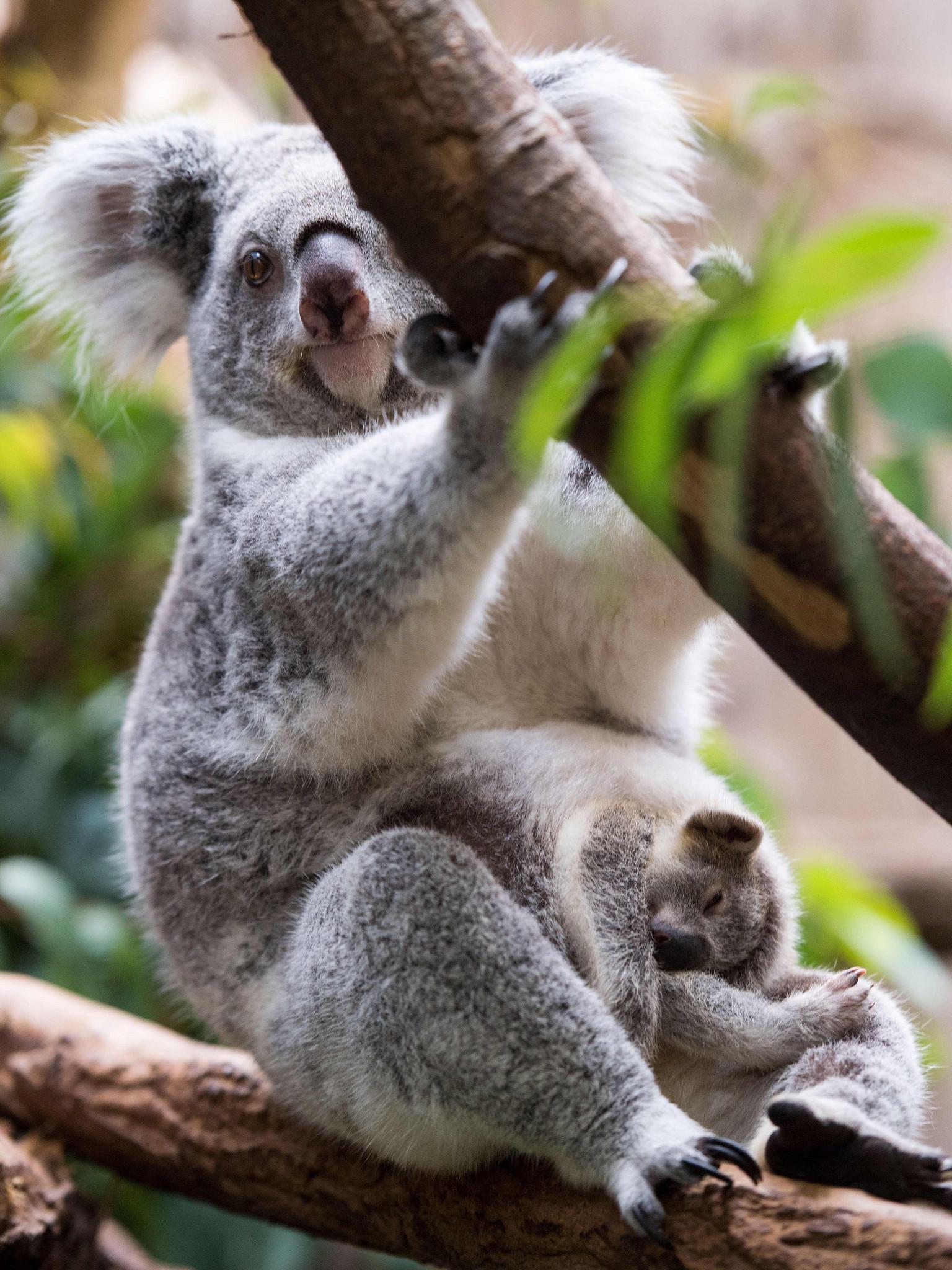 德国动物园考拉呆萌可爱图片