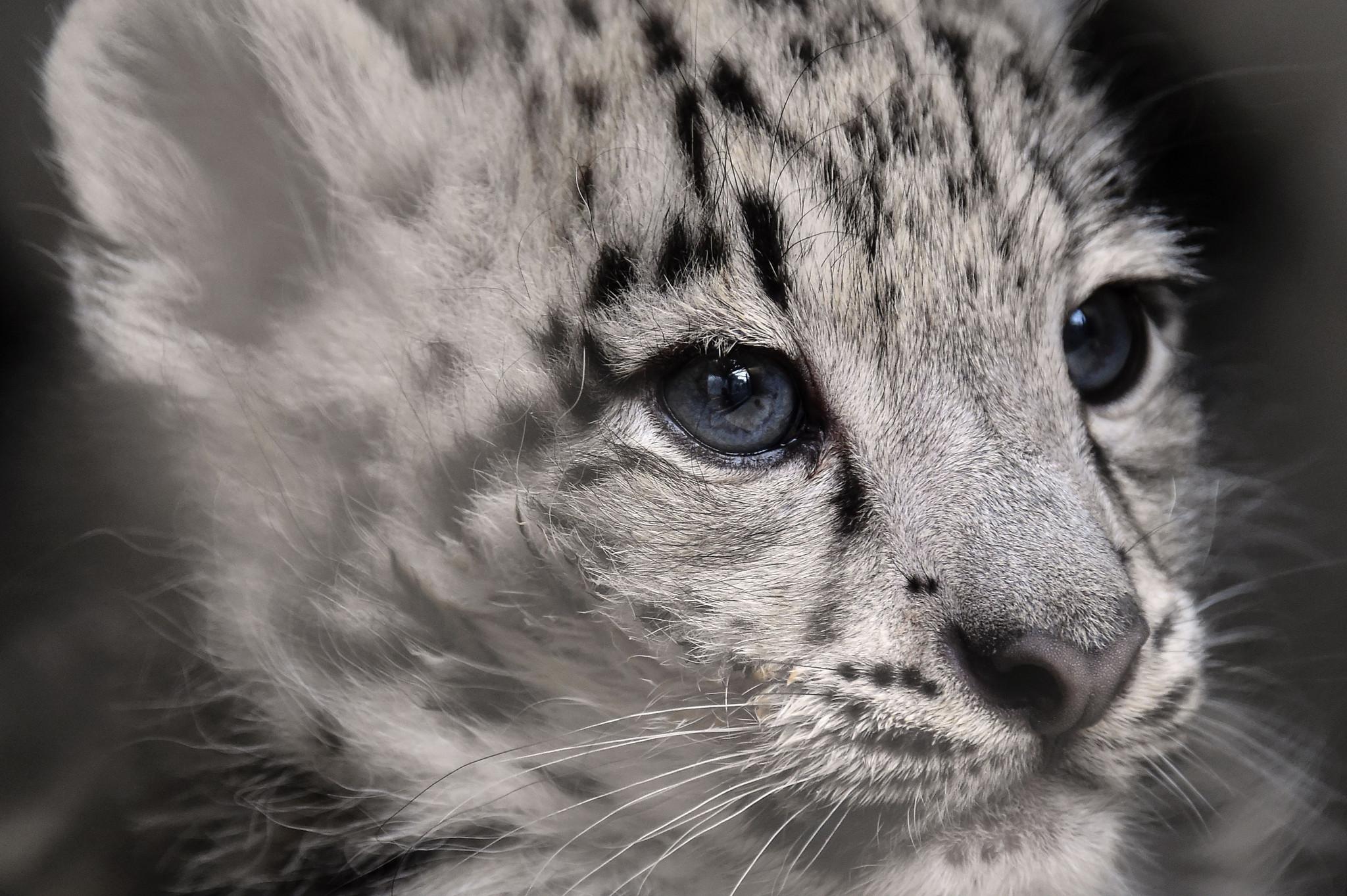 法国动物园新生小雪豹颜值爆表