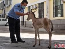 新疆警民接力救助国家一级保护动物小野驴