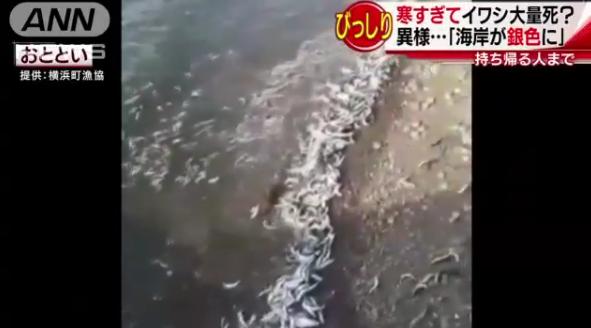 日本海岸突现大量沙丁鱼尸体 绵延40公里
