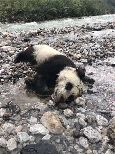 大通彩票导航:野生大熊猫幼仔溺亡_官方:把国宝全养起来不合初衷