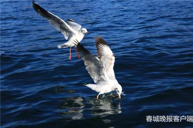 泸沽湖红嘴鸥