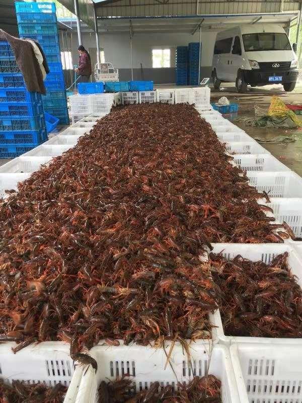安徽滁州科技稻虾种养成果丰硕
