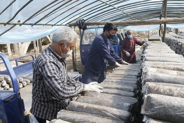 4、西峡县的菇农正在进行香菇种植。 封德 摄.JPG