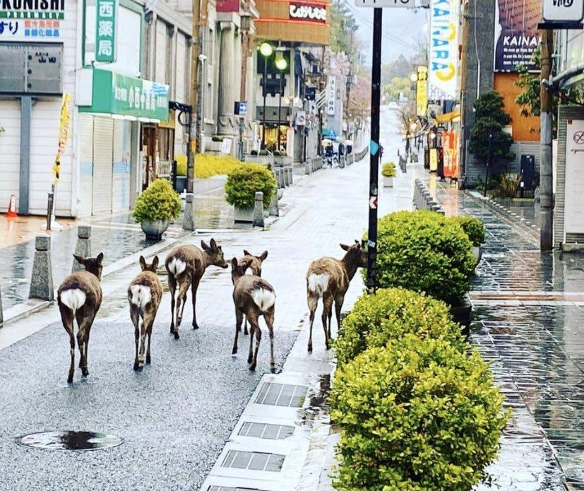 日本奈良繁华市区出现鹿比人多的景象