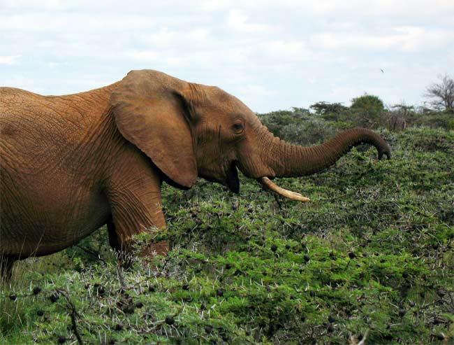 大象粗糙的皮肤可以不顾金合欢的刺 (图片来源:Live Science)