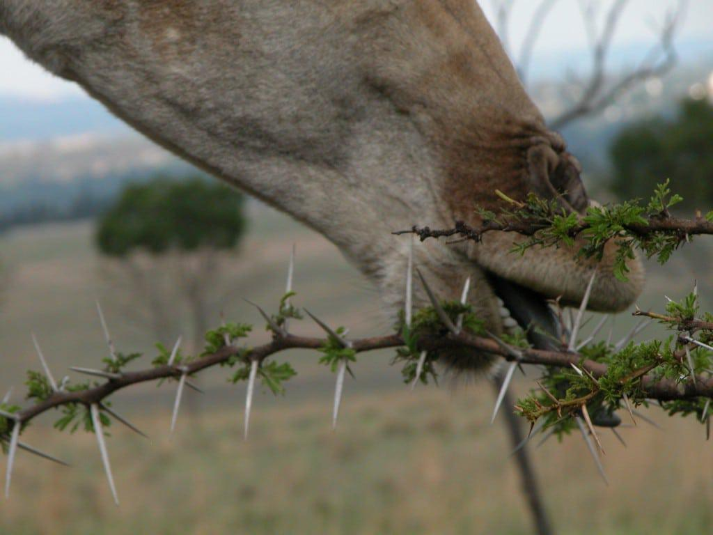 镰荚金合欢中的蚂蚁可以击退长颈鹿 (图片来源:Pixels)