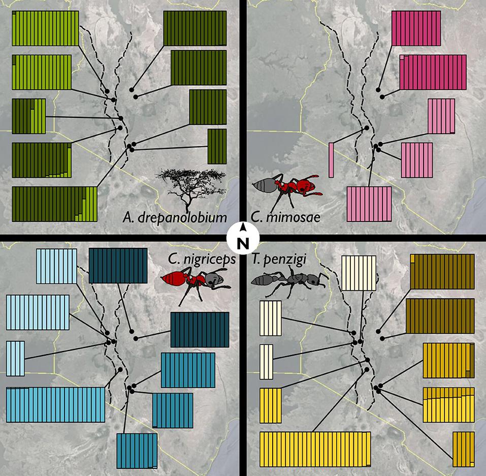 镰荚金合欢上三种共生的蚂蚁 (图片来源:参考文献2)