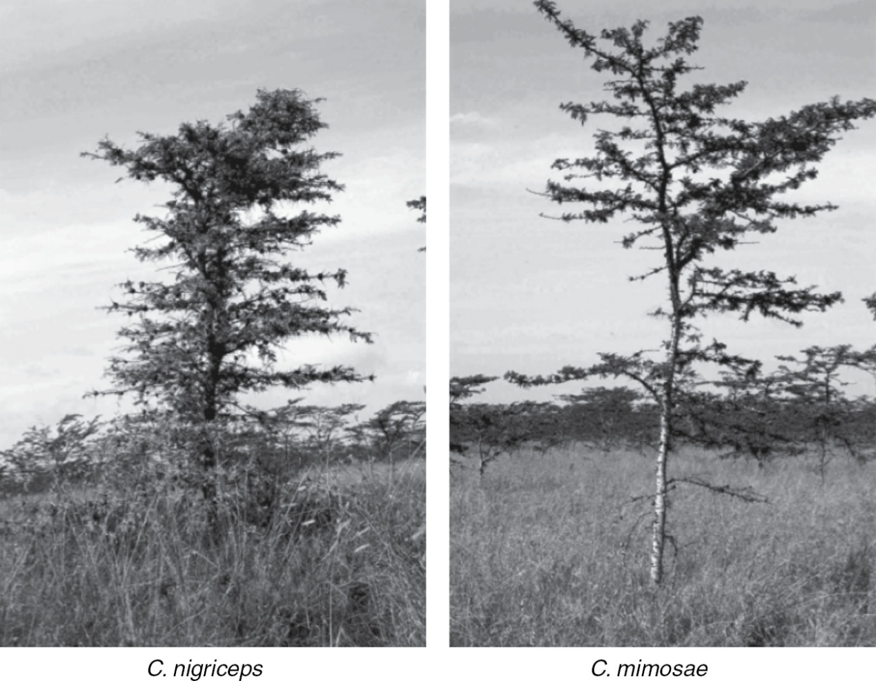 左边为被蚂蚁Crematogaster nigriceps占据的树,变得矮胖(图片来源:参考文献3)