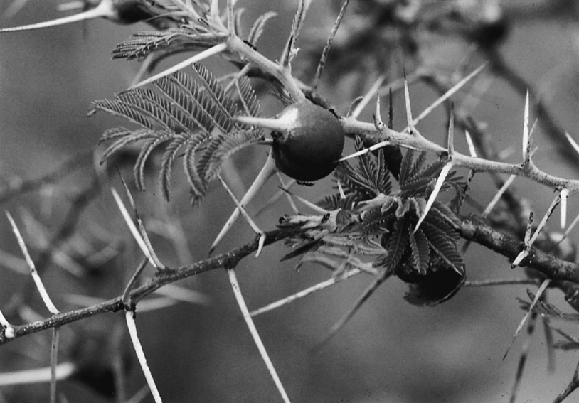 镰荚金合欢的两种刺 (图片来源:参考文献1)