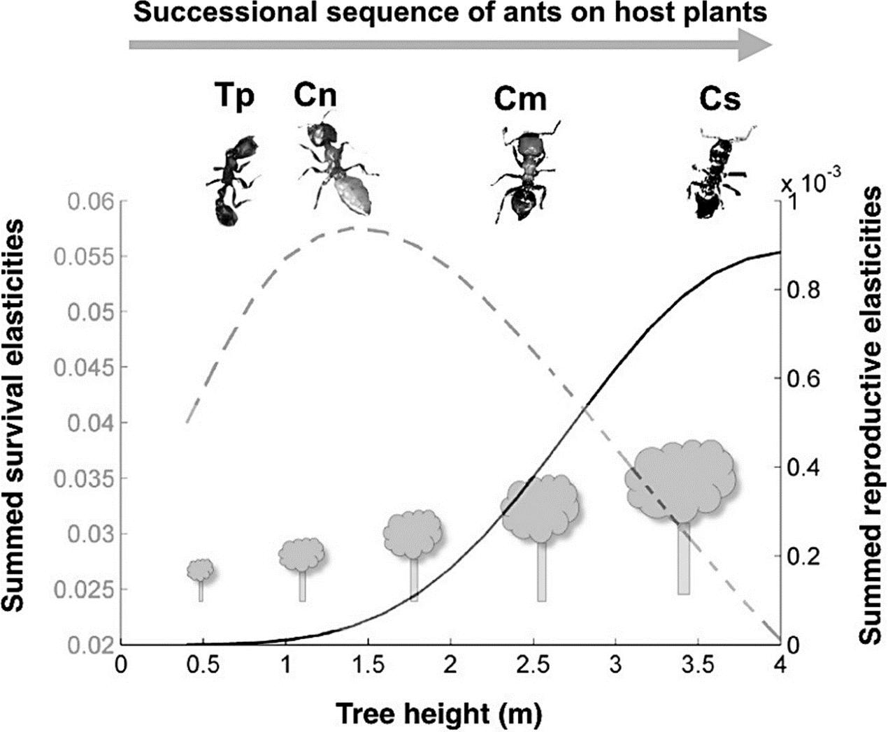 镰荚金合欢上优势的蚂蚁也会发生替换 (图片来源:参考文献3)